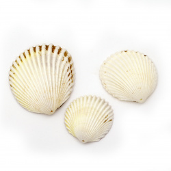 Sea Shells 15~60x32~ 55x12~20 mm, Hole 1.5 mm, color White 6~8 pieces ~ 50 grams